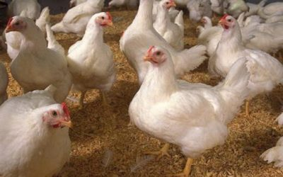Los reproductores de broilers alimentados a primera hora de la mañana ponen más huevos